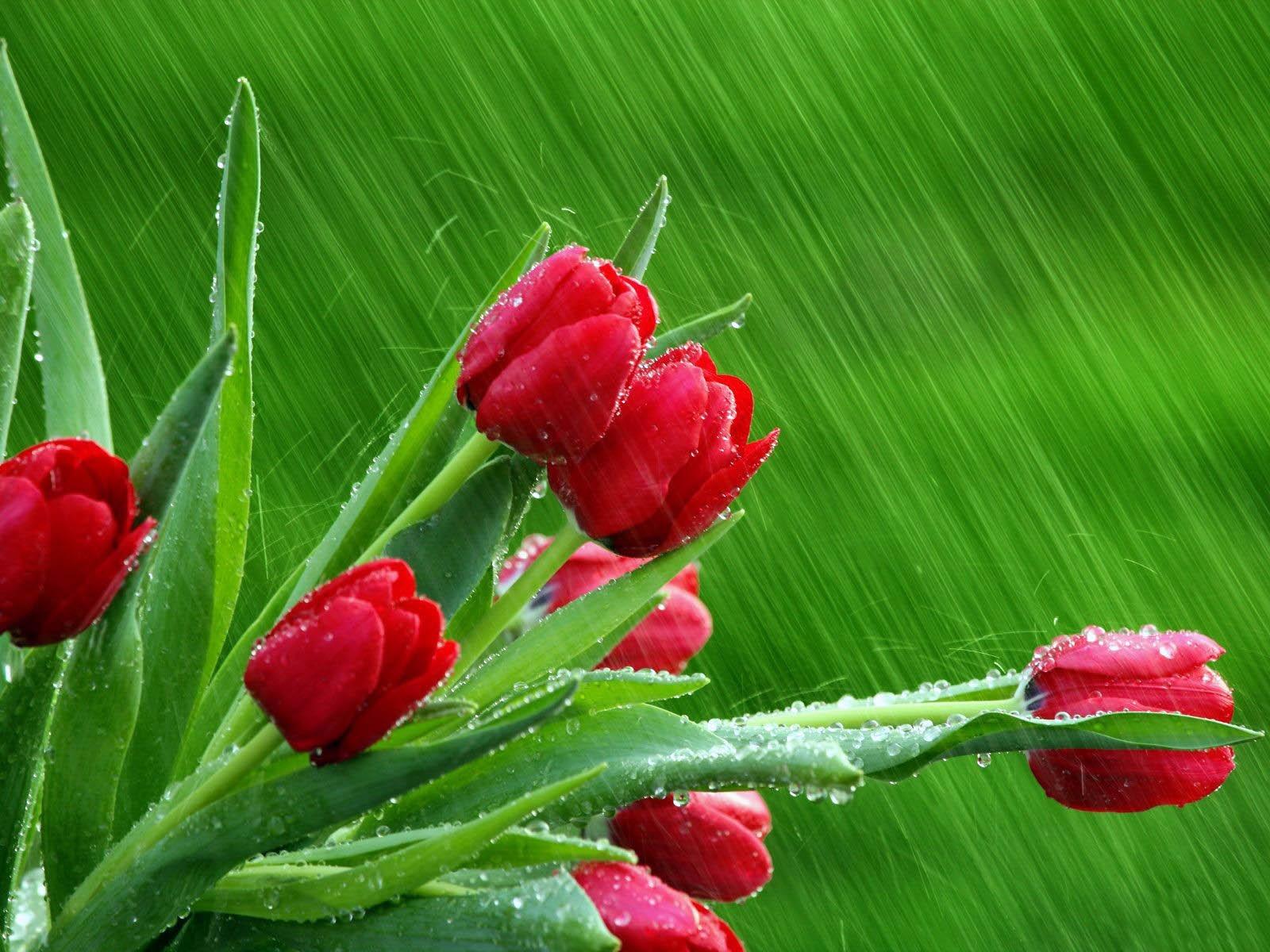 The Best Top Desktop Roses Wallpapers Hd Rose Wallpaper  Beautiful Red Roses
