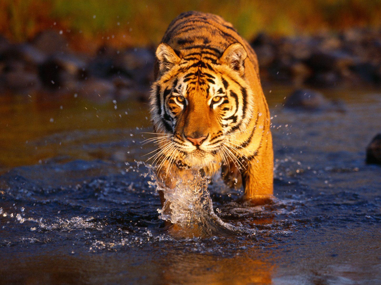 Wallpaper Hd Tiger