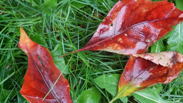 Red fall leaves in the grass