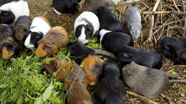 Guinea pig wallpaper with many guinea pigs.