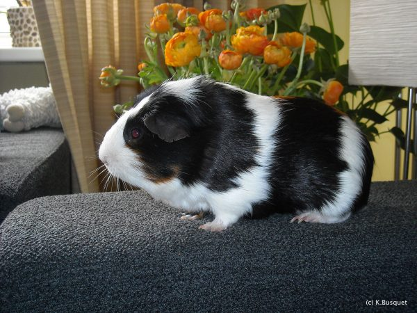 Guineapig wallpaper with a guineapig on a sofa