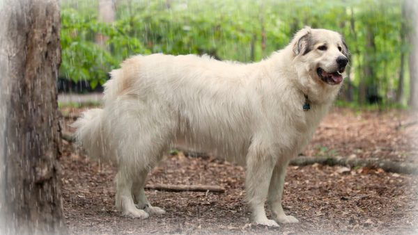 A Great Pyrenees Mountain dog in the rain