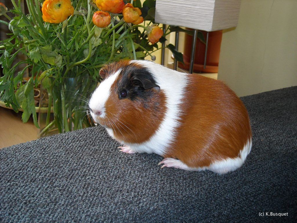 HD wallpaper Guinea pig on sofa