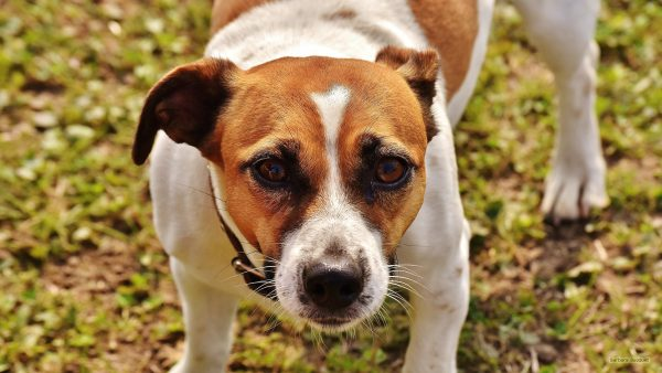 HD wallpaper Jack-russell terrier dog.