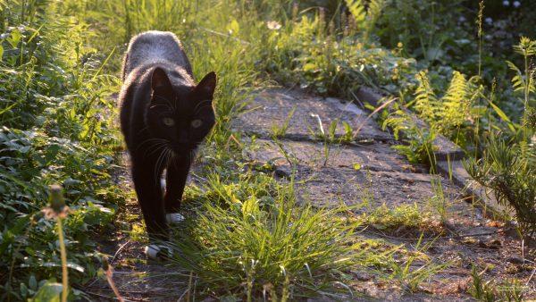 HD wallpaper black cat in the yard.