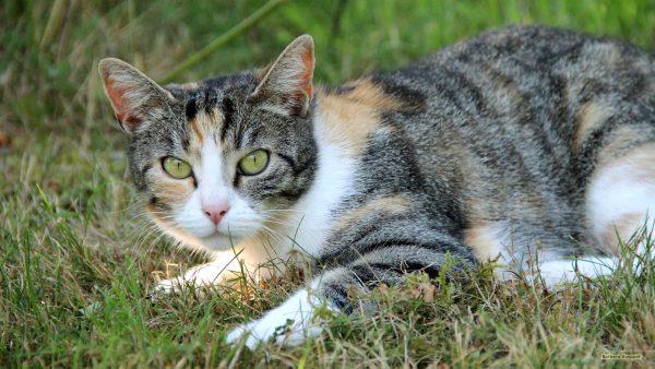 HD wallpaper cat in the grass.