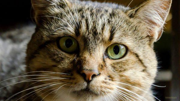 HD wallpaper close-up cat.