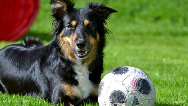 HD wallpaper dog with football.