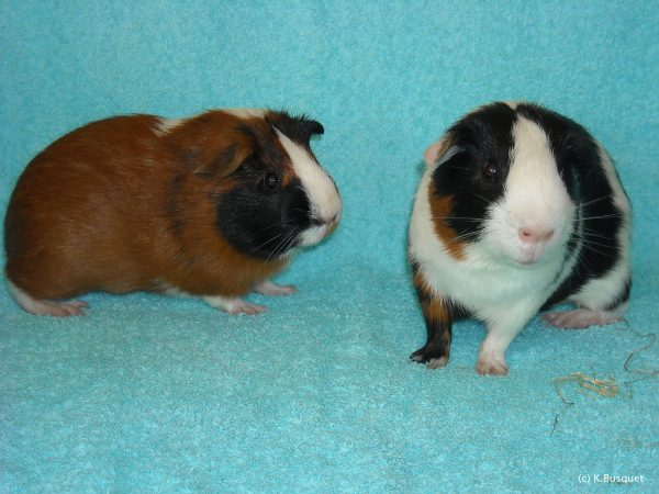 HD wallpaper with guinea pigs on blue towel