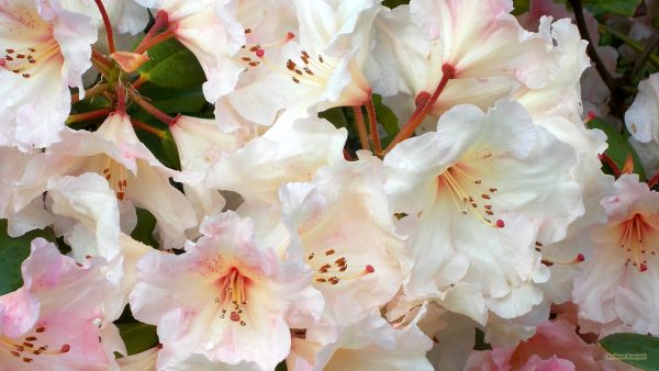 HD wallpaper pink Rhododendron flowers