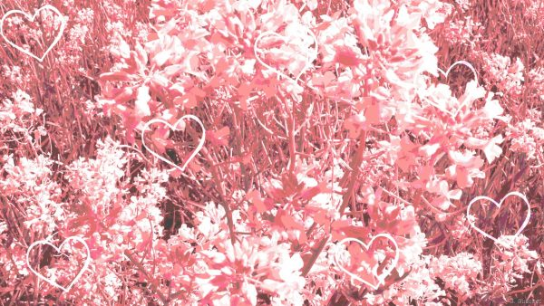 HD wallpaper pink flowers and hearts