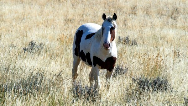 HD wallpaper pinto horse.