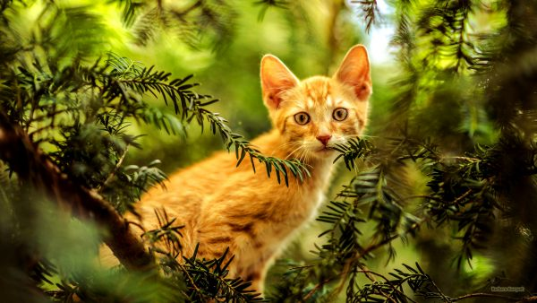 HD cats wallpaper with red cat in tree.