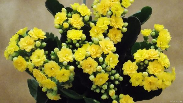 Flower wallpaper with a yellow kalanchoe