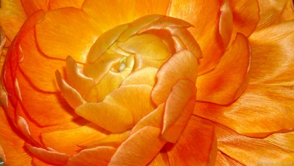 Wallpaper with orange persian buttercup