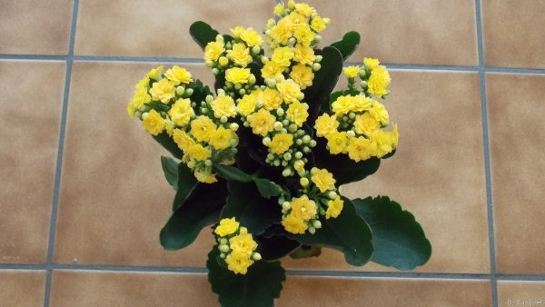Yellow kalanchoes on the table