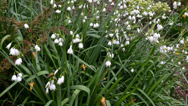 Spring wallpaper with snowdrops