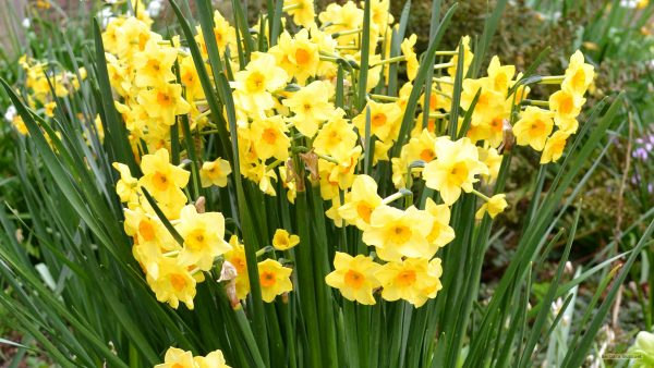 Spring wallpaper with yellow Narcissus
