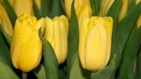 Spring wallpaper with yellow tulips.