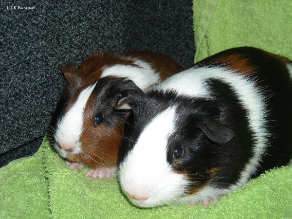 Two guinea pigs on a towel