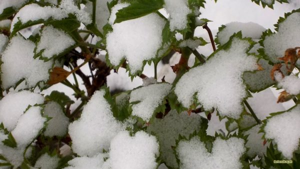 Winter wallpaper - plant covered with snow