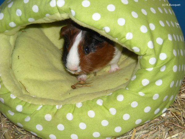 hd background guinea pig hiding