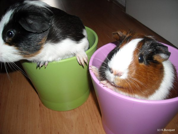 hd wallpaper guinea pigs in pots