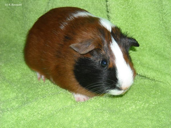 hd wallpaper guineapig on green towel