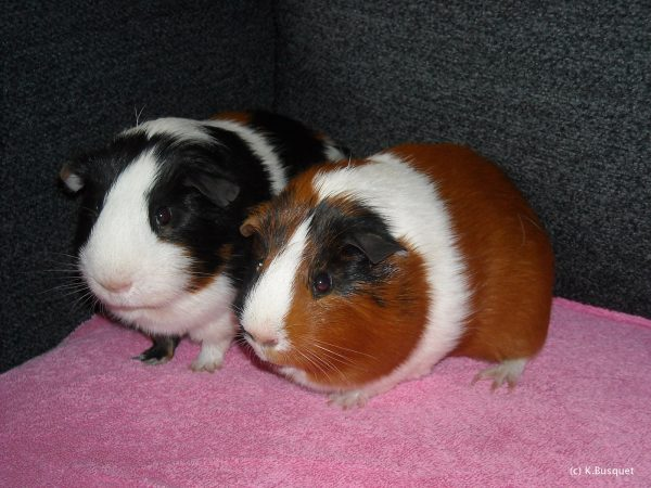 Two guinea pigs on a blanket