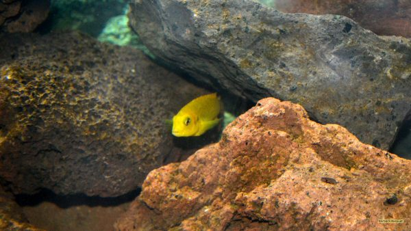 HD wallpaper with a yellow fish in an aquarium.
