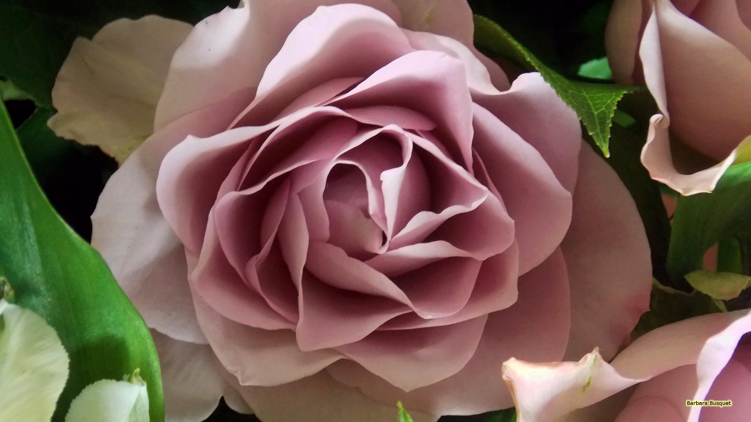 Pink Rose Wallpaper With A Beautiful Close Up Photo