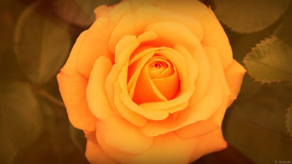 Close-up of an orange rose
