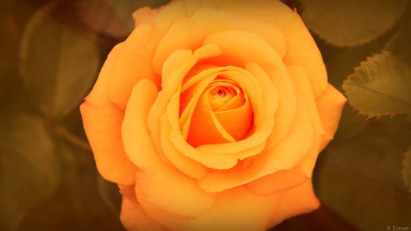 Close-up of an orange rose