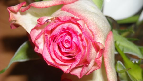 HD photo with pink rose
