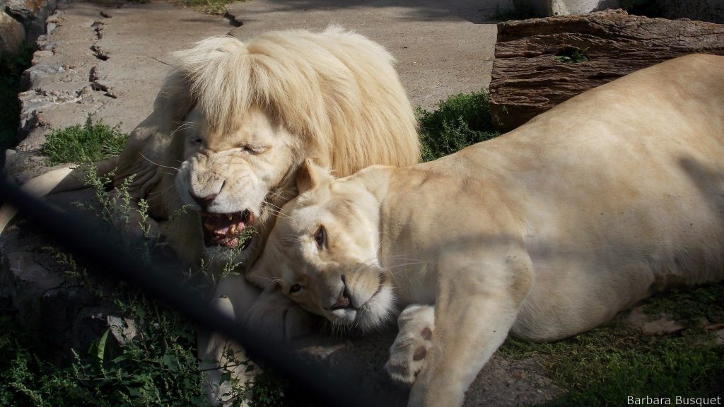 White lions resting after mating