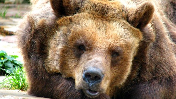 Close-up photo of a brown bear.