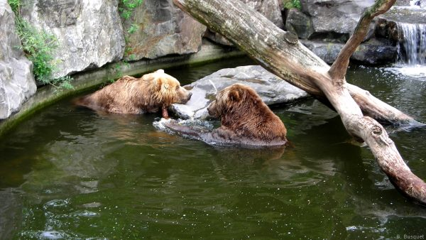 Two brown bears swimming in a zoo