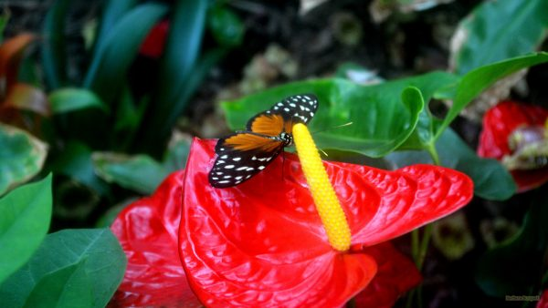 HD wallpaper butterfly on red flower.