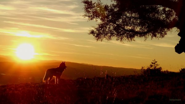 HD wallpaper with a dog at sunset.