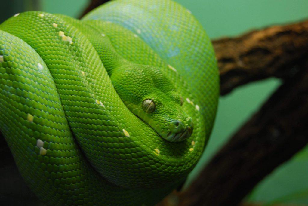 HD wallpaper green emerald snake