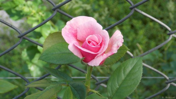 Mesh fence and a pink rose