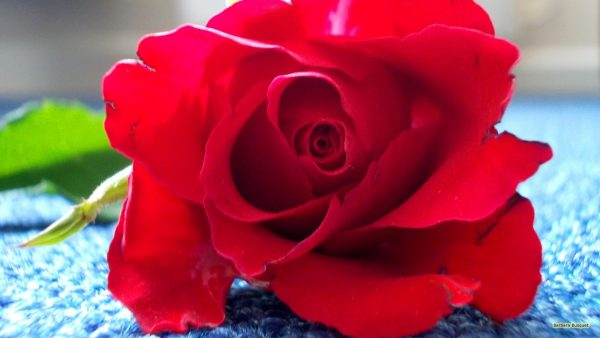 HD wallpaper red rose