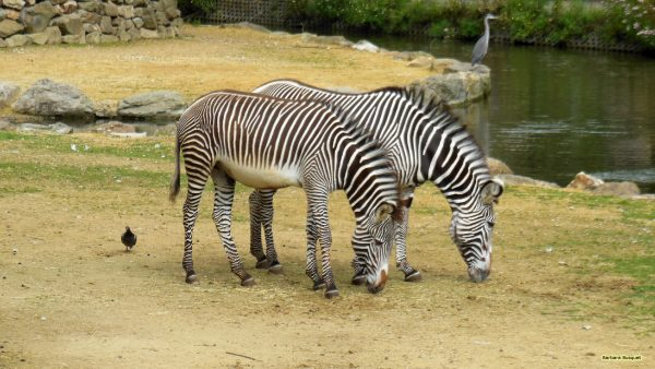 HD wallpaper two zebras