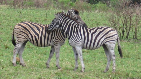 Wallpaper with two zebras in South Africa