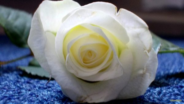 HD wallpaper white rose