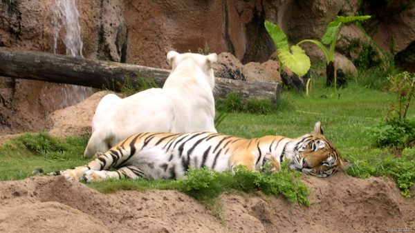 HD wallpaper with a tiger in the grass