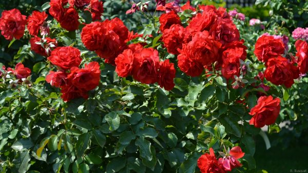 Rose bush with red flowers