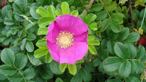 Pink japanese rose