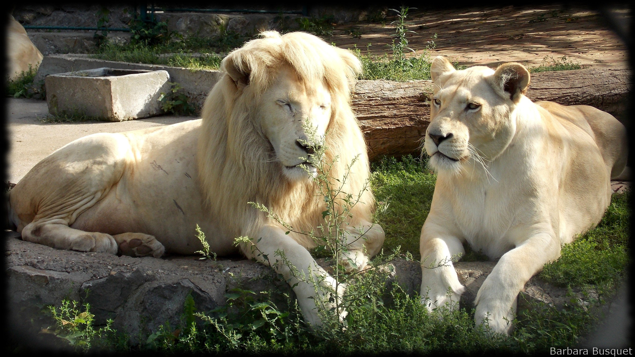 lions wallpapers barbaras hd wallpapers