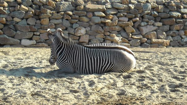 Wallpaper with zebra in the sand
